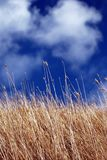 In Heaven's Hands. Long Dry Grass, calling out to blue sky for rain Stock Image
