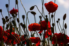 In heaven. Silhouette of poppy flowers. Photography of nature Royalty Free Stock Photography