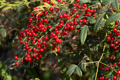 Heavenly Bamboo Berries. Gorgeous red berries blooming on a Heavenly Bamboo plant Stock Photos