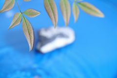 Heavenly bamboo in a blue background Stock Photos