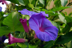 Heavenly blue. Ipomea Purpurea Heavenly blue climbing plant stock image
