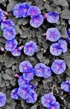Heavenly Blue Royalty Free Stock Photo