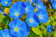 Heavenly blue ipomoea flowers. Heavenly blue ipomoea (morning glory) flowers royalty free stock photos