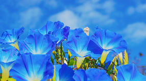 Heavenly blue ipomoea (morning glory) flowers Royalty Free Stock Images