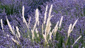Heavenly Lavender, Provence royalty free stock photo