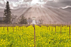 Heavenly Light Streaming Through the clouds onto Napa Valley Vineyards and Mustard Blooming. In Spring royalty free stock image