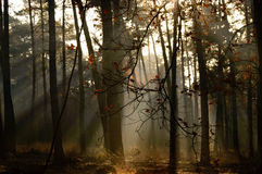 Heavenly sunlight coming through trees in forest. Nature background of heavenly sunlight coming through trees in forest during autumn season with copy space Royalty Free Stock Photos