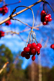 Heavens and berries. Royalty Free Stock Photo