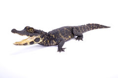 Dwarf crocodile,Osteolaemus tetraspis. The heavily armored Dwarf crocodile,Osteolaemus tetraspis, is found in Central Africa and semi-terrestrial Royalty Free Stock Images