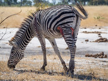 Free Heavily Injured And Wounded Zebra Walking And Grazing In Moremi NP, Botswana, Africa Royalty Free Stock Images - 81171149