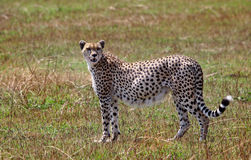 A heavily pregnant Cheetah standing on the African Plains Stock Images