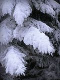 Heavily snowed branches of pine Stock Photos