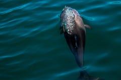 Heaviside& x27; s海豚,拍摄在开普敦,南非 免版税库存图片