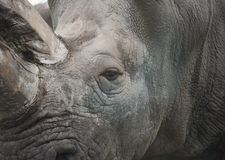 Heavy Armour. Close up shot of a Southern White Rhinoceros Stock Photo