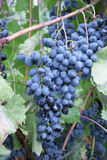 Heavy blue bunch of grapes Royalty Free Stock Photos