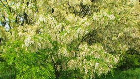 Heavy Branches With  Acacia Blossom Swaying On. This is a footage of heavy blossoming branches of acacia tree and green leaves swaying on the wind. Focus on stock footage