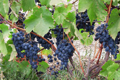 Heavy bunches of blue grapes Stock Photo