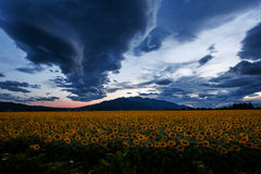 Heavy clouds over a sunflower field Royalty Free Stock Photos