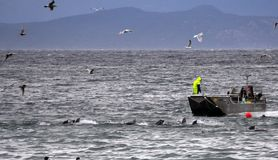 Heavy competition for the Herring Spawn. Scene near Qualicum Bay, BC during the annual herring run, when competition is fierce between man, the birds and the royalty free stock images