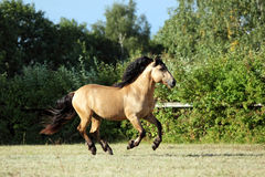 Heavy draft horse at farm vacation in summer. Draft horse runs gallop on the meadow in evening down Stock Photo