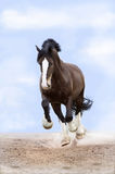 Heavy draft horse runs gallop in front. Heavy Vladimir draft horse runs gallop in front royalty free stock images