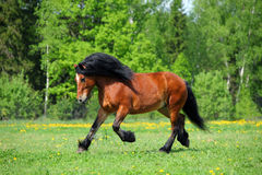 Heavy draft horse runs gallop on the summer meadow Royalty Free Stock Image