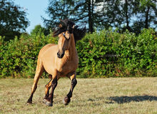 Heavy draft horse runs gallop on the summer meadow Stock Photos