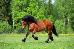 Heavy draft sorrel horse portrait. Heavy draft sorrel horse galloping in summer pasture Royalty Free Stock Image