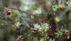 Heavy drops on spider web Royalty Free Stock Photography