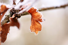 Heavy Frost on Oak Leaves Royalty Free Stock Images