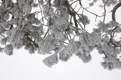 Heavy frost on pine boughs. Stock Images