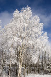 Heavy frosted birches Stock Photos