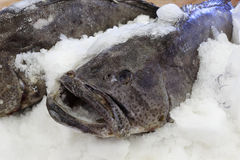 Heavy frozen grouper Stock Images