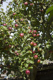 Heavy fruiting red apple tree Stock Image