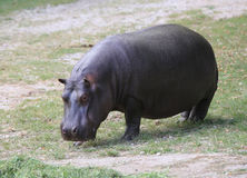 Heavy hippo with shiny skin and small ears while eating the gras Royalty Free Stock Photography