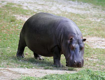 Heavy hippo with shiny skin and small ears. Fat hippo with shiny skin and small ears while eating the grass Royalty Free Stock Photos