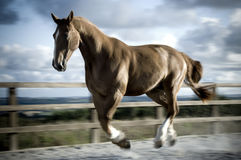 Heavy horse galloping Stock Photography