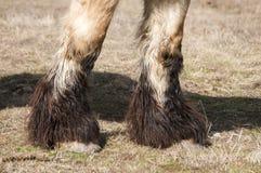 Heavy horse hoofs. Closeup of  heavy horse hoofs and foot hair on winter meadow Stock Photo