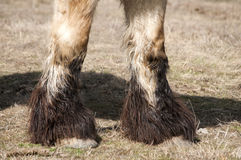 Heavy horse hoofs. Closeup of  heavy horse hoofs and foot hair on winter meadow Stock Images