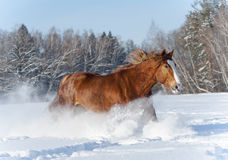 Heavy horse runs Stock Images