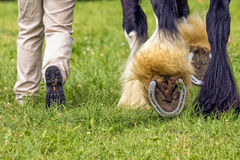 Heavy horse showing its shoes, Hanbury Countryside Show, England. A heavy horse showing two of its shoes with the handler also showing the sole of his footwear stock image