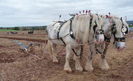 Heavy Horses at a Ploughing Match in England Stock Images
