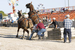 Heavy Horses in Pulling Competition Stock Image