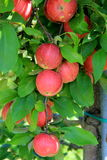 Heavy laden branches with crop of new apples Royalty Free Stock Photos