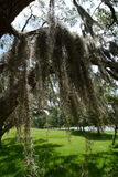 Heavy moss hanging from a swamp tree Royalty Free Stock Photography