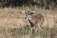 Heavy Rack of Whitetail Deer Royalty Free Stock Image