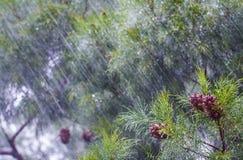 Heavy rain. On a casuarina tree stock images