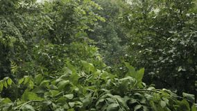Heavy rain drips on the leaves of the tree stock video footage
