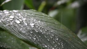 Heavy rain fall down to green big leaf in garden, concept tropical area. Only and many dew on leave so beautiful stock footage