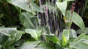 Heavy rain fall down to green big leaf in garden and drop down like waterfall storm. Concept tropical area only and dew on leave so beautiful stock video footage